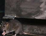 Mỹ: Tòa thị chính Los Angeles 'thất thủ' vì... chuột