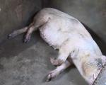 Bà Rịa - Vũng Tàu tiêu hủy hàng trăm con lợn lở mồm long móng - ảnh 1
