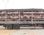 23 địa phương xuất hiện dịch tả lợn châu Phi