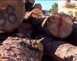 'Lâm tặc' ngang nhiên phá rừng giữa ban ngày ở Lâm Đồng