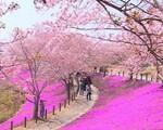 Nhật Bản rực rỡ trong sắc hoa anh đào