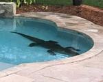 """""""Thót tim"""" phát hiện cá sấu trong hồ bơi"""