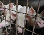Vì sao dịch tả lợn châu Phi lây lan nhanh và khó kiểm soát?