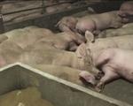 Các nước châu Âu làm gì để ngăn chặn dịch tả lợn châu Phi? - ảnh 1