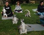 Lớp tập yoga cùng vượn cáo tại Anh