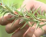 Trồng hương thảo: Lựa chọn mới của nhà vườn Đà Lạt