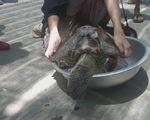 Ninh Thuận: Phát hiện một cá thể rùa biển chết trôi dạt vào bờ
