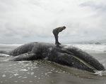 Cá voi xám chết hàng loạt tại California, Mỹ