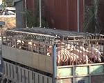 Đồng Nai dồn toàn lực dập dịch tả lợn châu Phi - ảnh 1
