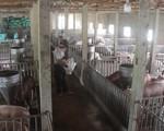 Xuất hiện dịch tả lợn châu Phi tại Hậu Giang