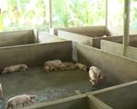 Không nên tận dụng thức ăn dư thừa nuôi lợn - ảnh 1