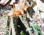 Khởi tố thêm 6 bị can phá rừng ở Vườn quốc gia Phong Nha - Kẻ Bàng
