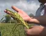 """Nông dân ĐBSCL chủ động """"thuận thiên"""" thích ứng trong sản xuất nông nghiệp"""