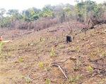 Hàng nghìn cây thông bị đổ hóa chất đầu độc - ảnh 1