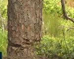 Tiến hành đồng bộ các giải pháp cứu rừng thông