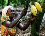 Giá cacao hợp đồng kỳ hạn tháng 9/2019 giảm mạnh - ảnh 1