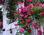 Cách trang trí vườn nhà, ban công bằng cây hoa hồng