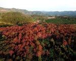 Lâm Đồng: Tái hiện hiện trường vụ hơn 3000 cây thông bị 'bức tử'