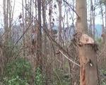 Gia Lai: Hàng ngàn cây thông bị róc vỏ để nuôi cấy lan