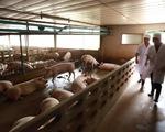 Thái Lan tạm ngưng nhập khẩu thịt lợn từ Lào do dịch tả lợn châu Phi