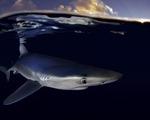 Báo động tình trạng đánh bắt cá mập tại Đại Tây Dương