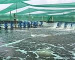 Ảnh hưởng của mưa đối với tôm nuôi thương phẩm