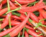 Ninh Thuận: Giá ớt tăng cao, lên đến 45.000 đồng/kg