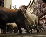 Nhiều người bị thương trong lễ hội 'Chạy đua cùng bò tót'