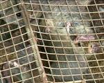 Chợ chuột đồng lớn nhất miền Tây vào vụ