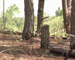 Diện tích rừng thông tại Đà Lạt giảm đáng kể do bị chặt phá