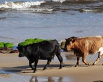 Cho bò ăn rong biển giúp giảm phát thải khí metan
