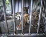 Đau lòng hình ảnh động vật bị xích, 'sống để mua vui' cho con người