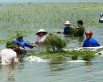 Bình Thuận: Mưa lớn gây ngập úng nhiều cánh đồng