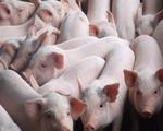 Người chăn nuôi lợn có thể tái đàn