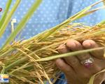 Triển vọng phát triển gạo hữu cơ có giá trị cao