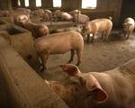 Dịch tả lợn châu Phi bùng phát ở khu vực Đông Bắc Á