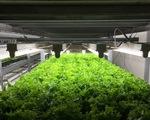 Nông trại thẳng đứng phát triển mạnh tại Nhật Bản