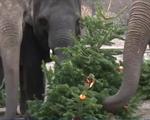 Sau Giáng sinh, sở thú cho động vật ăn cây thông Noel