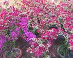 Hoa kiểng Bến Tre nô nức ra chợ Tết