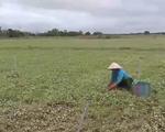 Thừa Thiên - Huế: Nông dân nỗ lực khắc phục sản xuất
