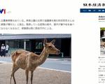 Vắng bóng khách du lịch do dịch COVID-19, hươu ở Nhật Bản ốm đói, giảm số lượng