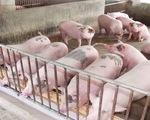 Giá thịt lợn hơi trên địa bàn cả nước tăng mạnh