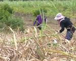 Nông dân trồng mía Khánh Hòa lỗ nặng do nắng hạn