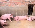 Đồng Tháp công bố hết dịch tả lợn châu Phi