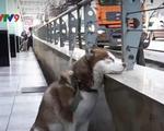 Nga: Chú chó chờ chủ làm việc mỗi ngày