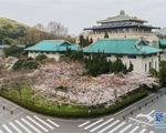 Người dân Vũ Hán (Trung Quốc) xem hoa anh đào nở qua livestream
