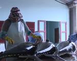 Ảnh hưởng của dịch COVID-19, 600 tấn cá ngừ đại dương chưa thể xuất khẩu