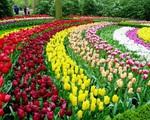 Thị trường hoa tươi Hà Lan chao đảo vì COVID-19