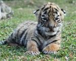 Sở thú đặt tên hổ con là Covid