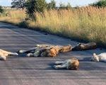 Sư tử ngủ trưa trên đường ở Nam Phi